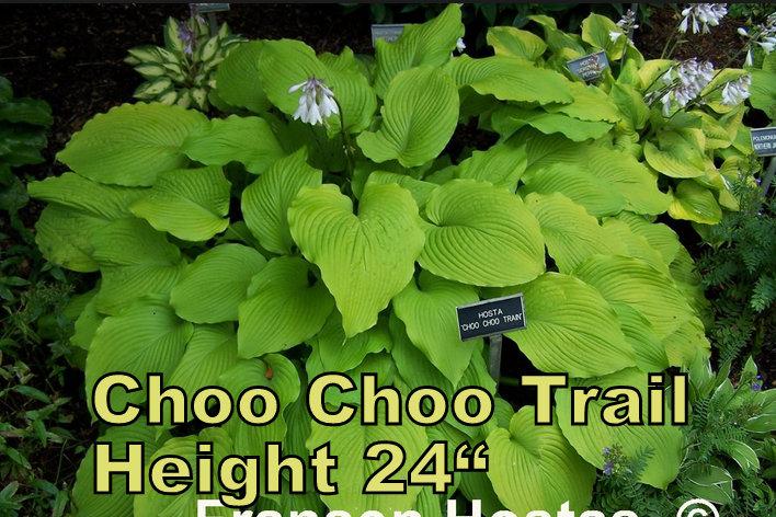 Choo Choo Train hosta