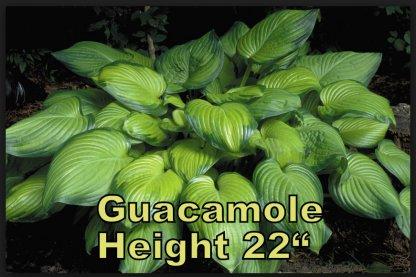 Guacamole Hosta