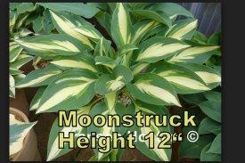 Moonstruck hosta