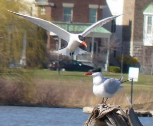 Waterfowl, Woodcocks & Dinner, Lake Glenview & Environs @ Meet at Glenview Park District's Park Center   Glenview   Illinois   United States