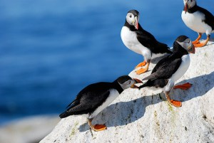 Boreal Birds & Seabirds in Maine @ Maine