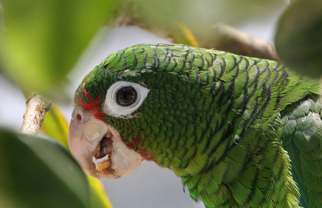 Puerto Rican Parrot - Photo by Tom MacKenzie, USFWS.