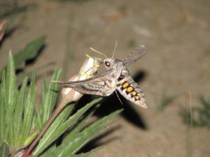 Online Webinar: Nocturnal Pollinators: The Secret Life of Moths @ Zoom Online Presentation | Highland Park | Illinois | United States