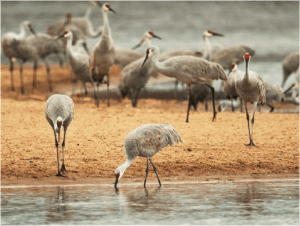 The Comeback of Midwestern Sandhill Cranes @ Heller Nature Center | Highland Park | Illinois | United States