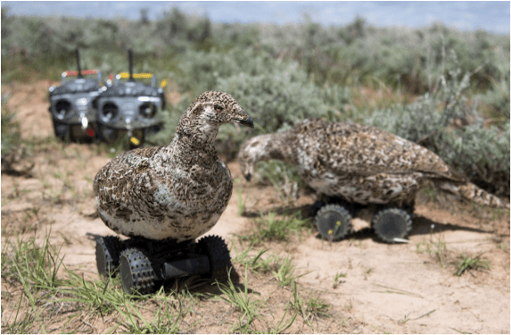 Sage Grouse fembots