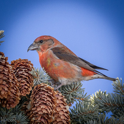 Red Crossbill - Photo courtesy of Michael Brager Photography from Flickr https://www.flickr.com/photos/56219672@N00/8423048090/in/photolist-dQjjK5-dQdH7a-YCDkoC-6WJM61-9srDJB-6WJM5Q-qzW18f-dQdGKc-dQjjTj-Rdekau-DVS5Hu-sexX98-21NSWaV-SrA24P-e2DNRn-9sU8wK-9sX9wS-d3fK6o-qB8fhe-2giKd1i-9sU8Lk-gf32qk-d3fJX1-HAhYY1-Cbu1h8-Ki9RZD-BMADGi-CJZ44B-BMAFrR-BMAyrt-Cbu9zk-BMt9BQ-CBFLYx-ChRHWy-ChRP59-ChRNMW-ChRKbs-CBFKdZ-BMtcBs-CJZ6w2-ChRFby-BMtcPS-BMtanY-CBFEnM-Cbu2or-CJZ6Zg-CGFsfA-CGFs6Y-Czr57d-BMAFTc