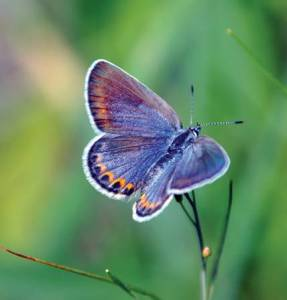 The Endangered Butterfly Next Door: Karner Blue Recovery in Wisconsin @ Zoom link provided day of the event