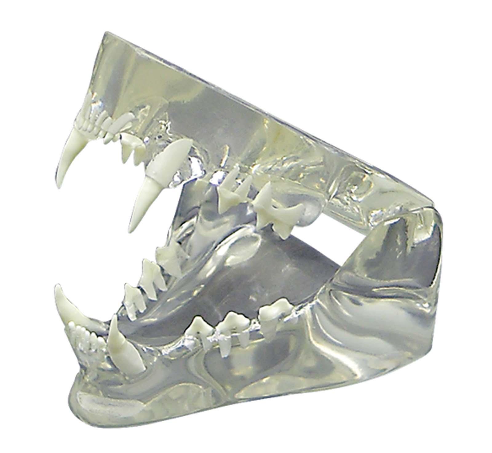 Feline Jaw Anatomical Model Clear With Teeth