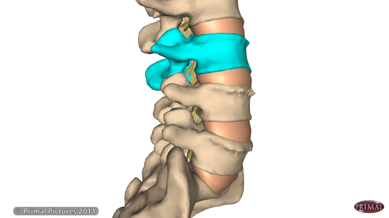 L3 Vertbrae and nerve root