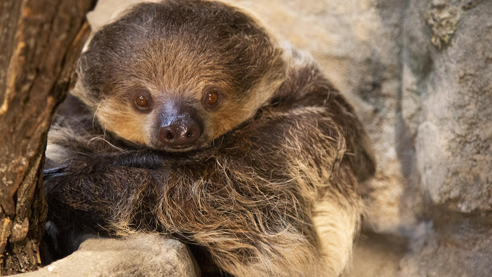Two toed sloth at Lake Tobias Wildlife Park
