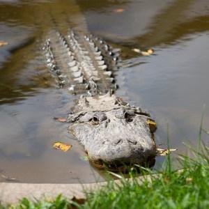 American Alligator at Lake Tobias Wildlife Park