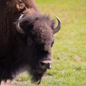 Bison at Lake Tobias Wildlife Park
