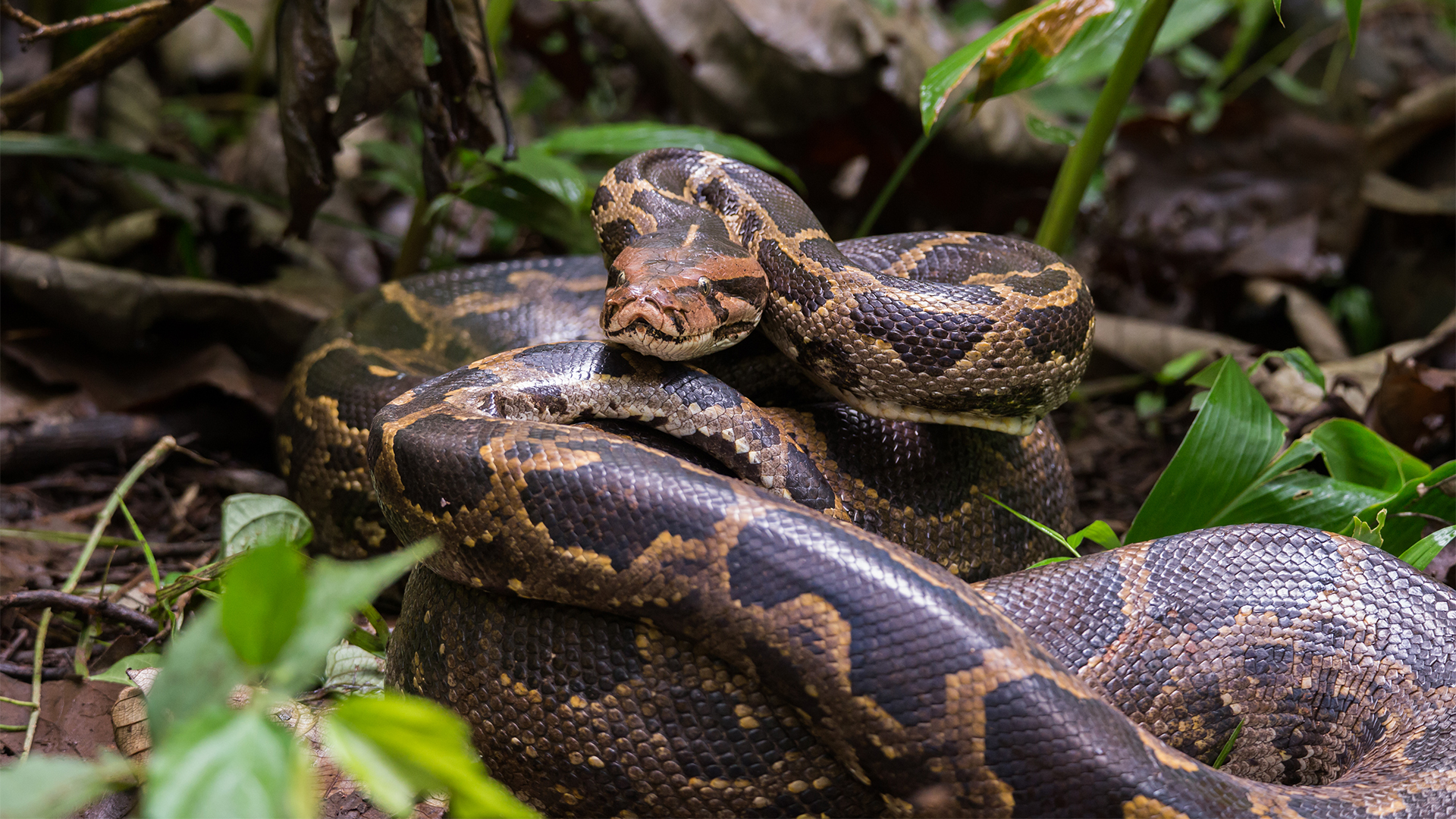 Burmese python at Lake Tobias Wildlife Park