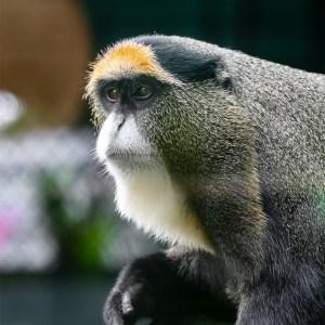 De Brazza's monkey at Lake Tobias Wildlife Park
