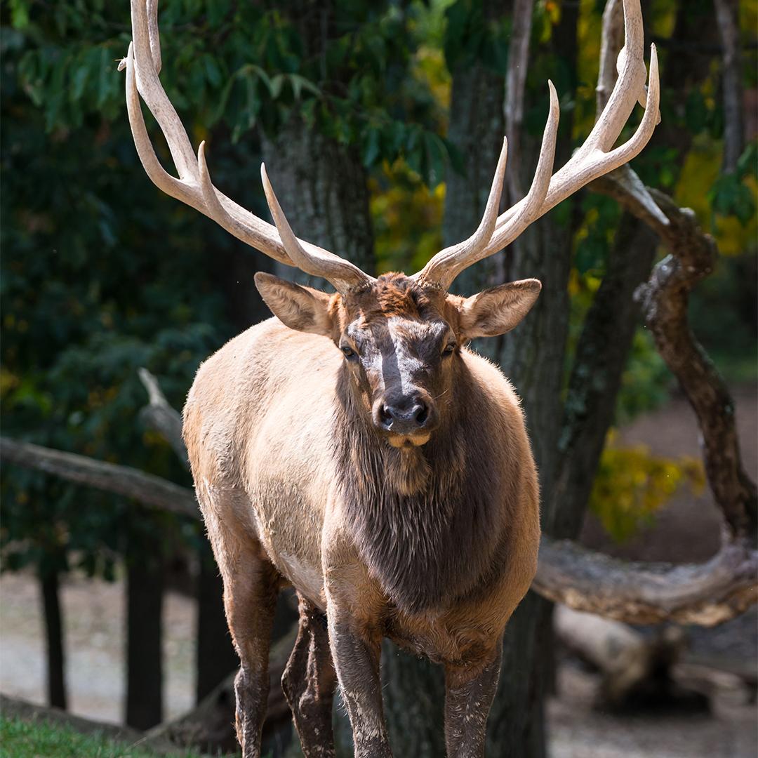 Elk at Lake Tobias Wildlife Park