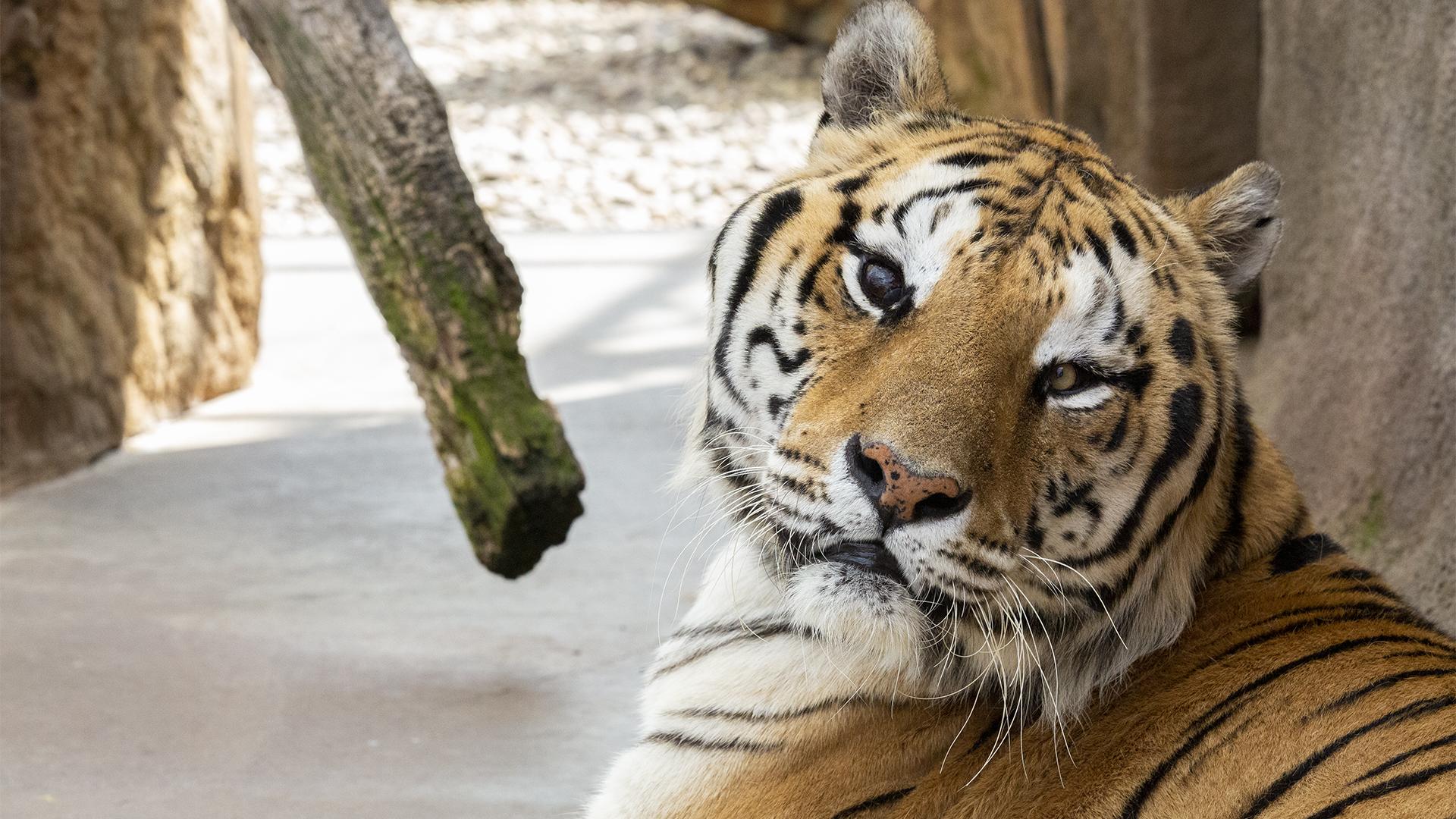 Bengal tiger at Lake Tobias Wildlife Park