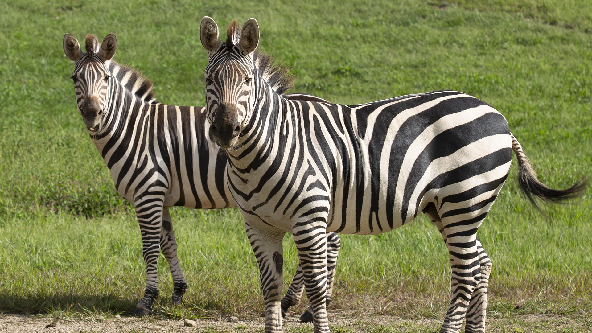 Grant's Zebra at Lake Tobias Wildlife Park