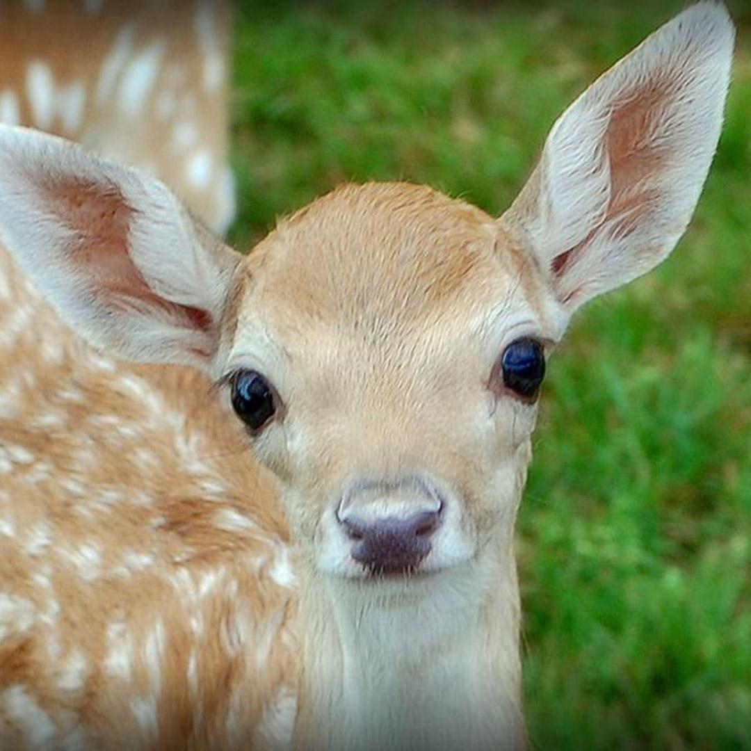 Baby deer at Lake Tobias Wildlife Park