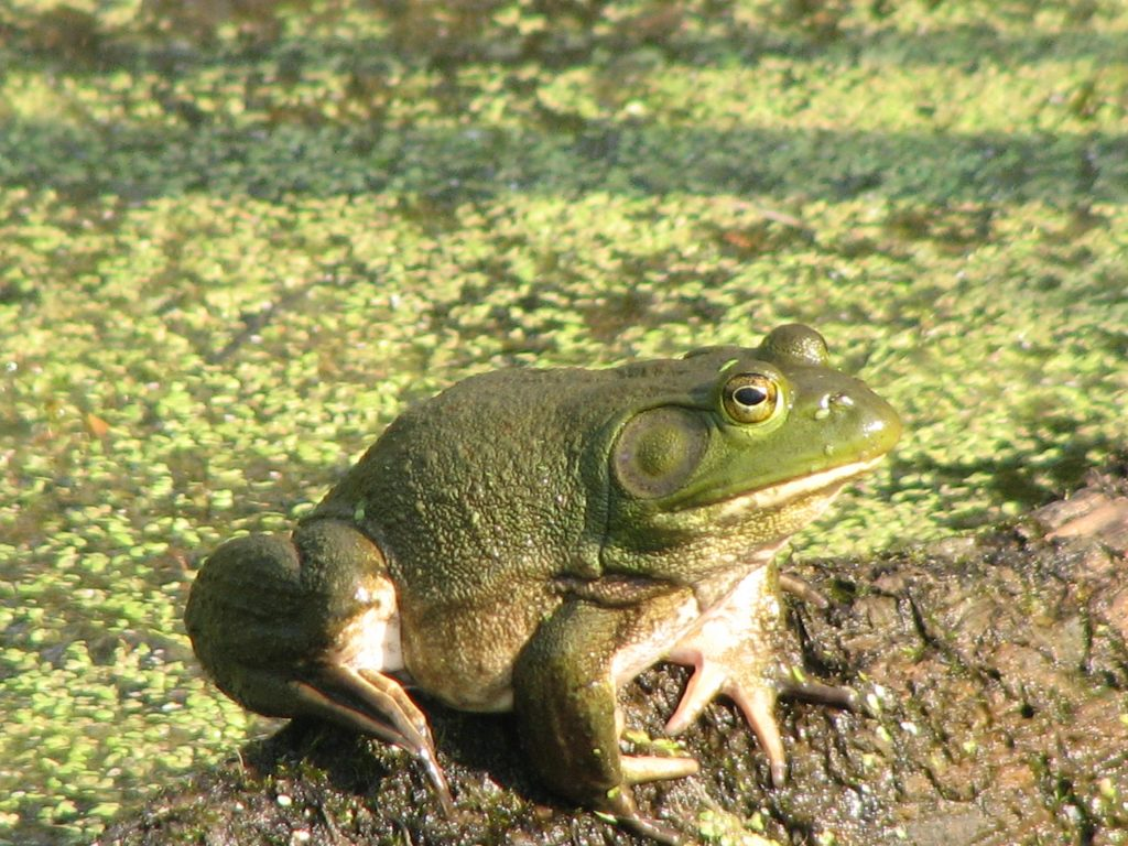 Friends Of Lake Wingra Participates In A Wisconsin Frog