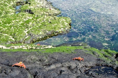 Familie sally lightfoot crab