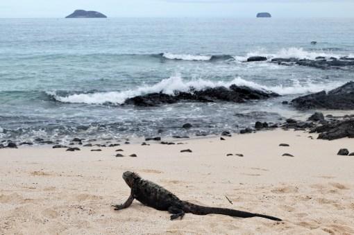 Een leguaan op het strand
