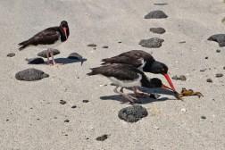 Vogels eten de resten van een krab
