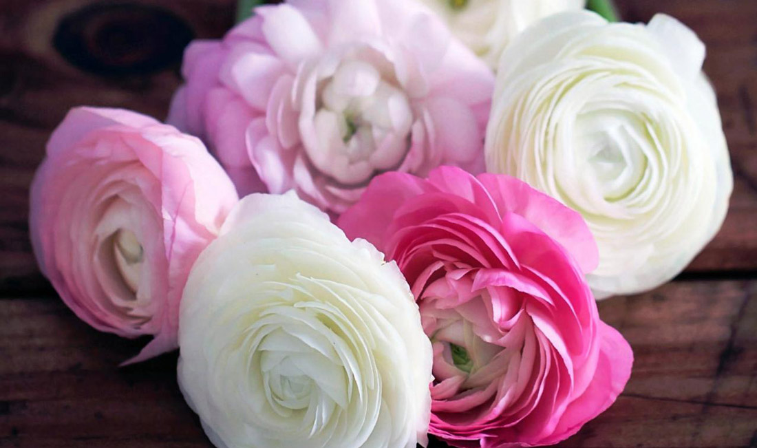 How to Grow Ranunculus   The Peony Alternative of the South How to Grow Ranunculus   The Alternative to Peonies for Mild Winters   Do  you love