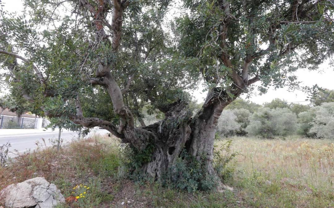 L'Alfàs participará en Valencia en una jornada sobre patrimonio arbóreo