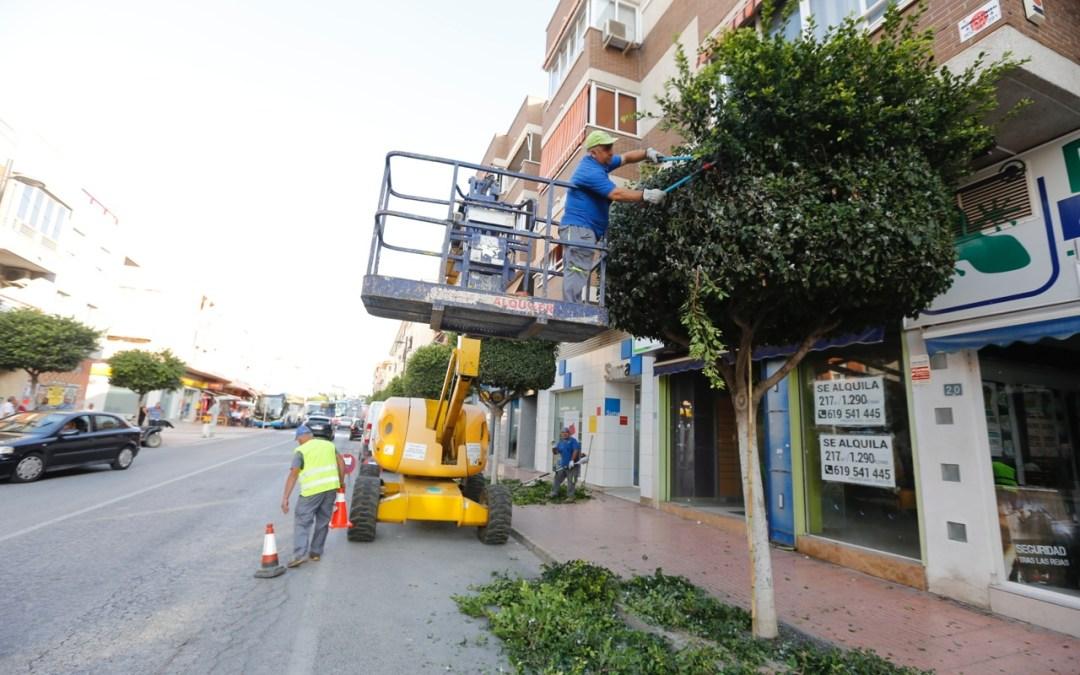 El Ayuntamiento de l'Alfàs acomete la poda de 300 ficus en el entorno del casco urbano y l'Albir