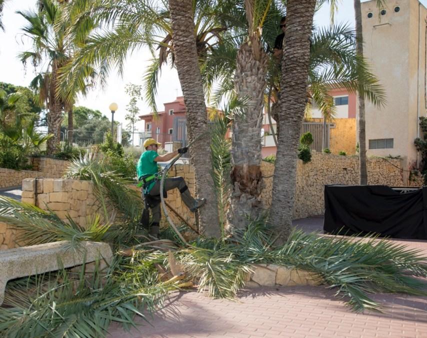 El Ayuntamiento de l'Alfàs desarrolla una campaña de poda de palmeras