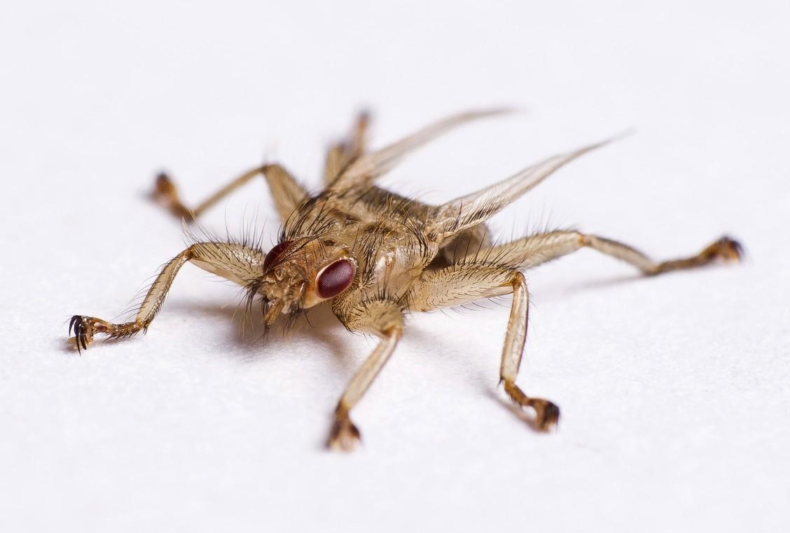 Hirschlausfliegen sind nicht wirtstreu und befallen neben Cerviden auch Sauen.