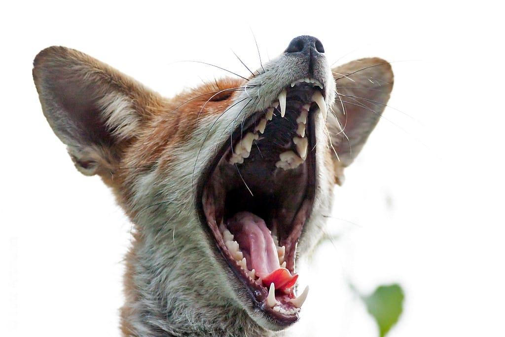 Gebiss - Waldbewohner: Der Fuchs