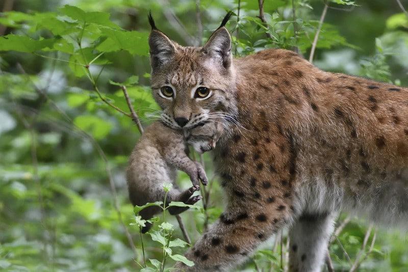 pa luchsjungtier2 animal detail 801 - Waldbewohner: Der Luchs