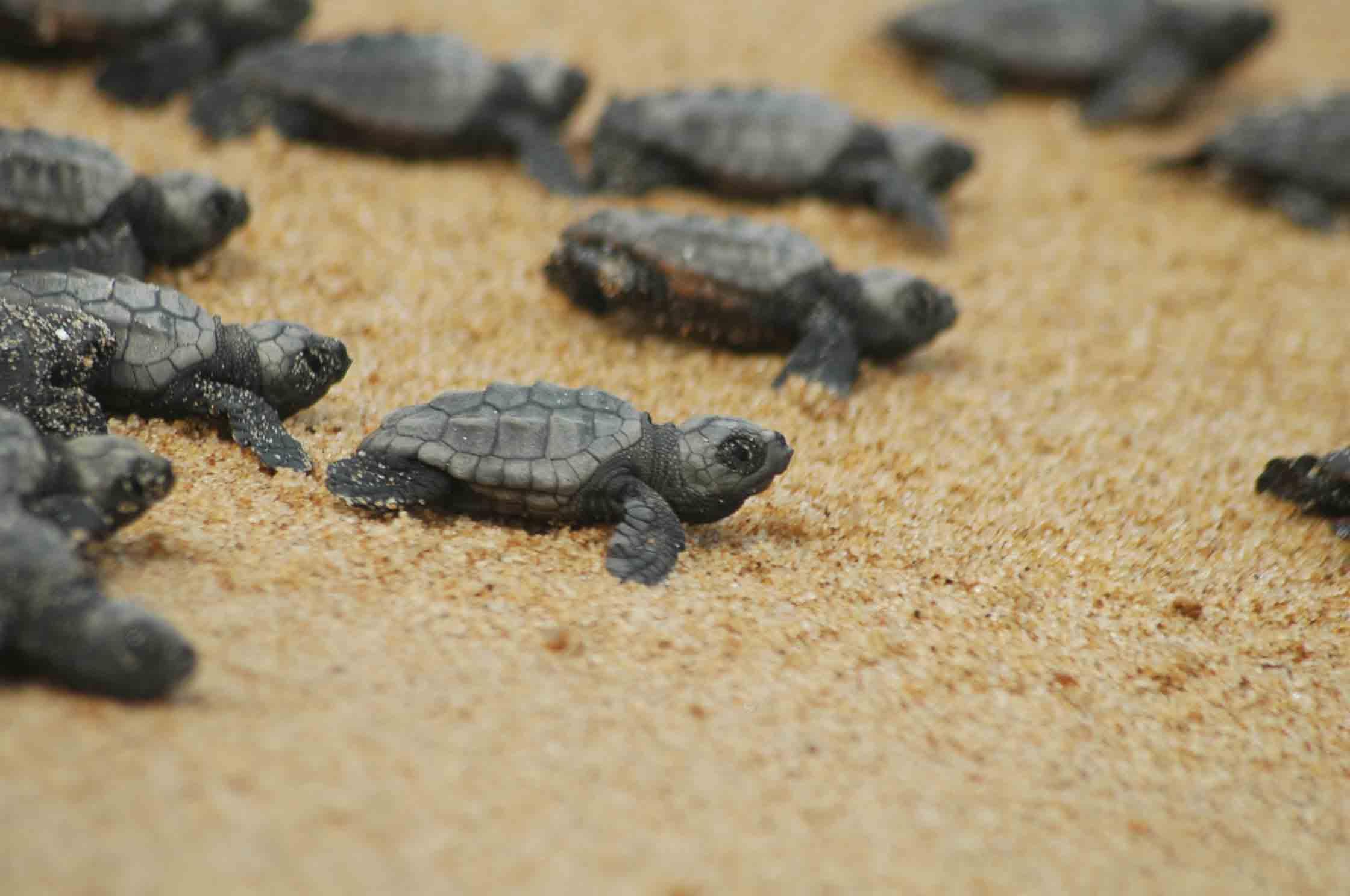 tartarughe caretta caretta lalocride locride parco marino regionale costa dei gelsomini