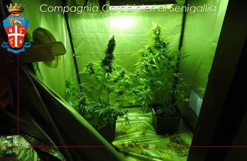 Coltivava in casa marijuana, arrestato un senigalliese