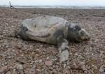Continua la strage di tartarughe marine: un altro bellissimo esemplare spiaggiato a Marotta