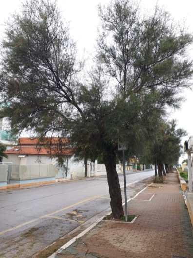 MARZOCCA lungomare alberi tagliati o in pericolo2019-10-06 (7)