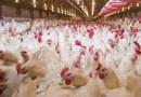A Castelleone di Suasa il nuovo allevamento di polli torna al centro delle polemiche politiche