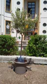 FANO scuola Corridoni alberro Giovanni Falcone2020-05-29 (2)