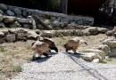 Al Parco Zoo di Falconara un viaggio nella voliera dei grifoni / Video