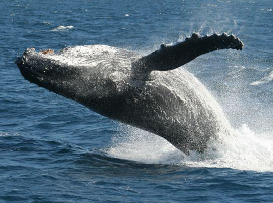 Whale Watching Northern NSW