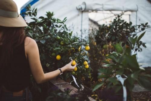 recolte_fruit