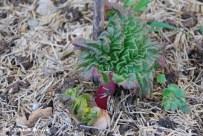 rhubarbe_0318