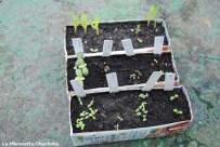 Semis de fleurs et maïs