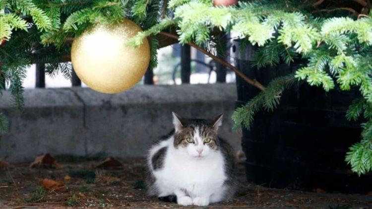 Actualmente cuida el árbol de Navidad que se instaló afuera de la casa de la Primer Ministro (Foto: Twitter @Number10cat)
