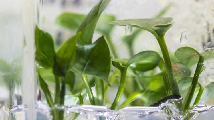 Las plantas que eliminan la contaminación del aire (Fotos: Universidad de Washington)