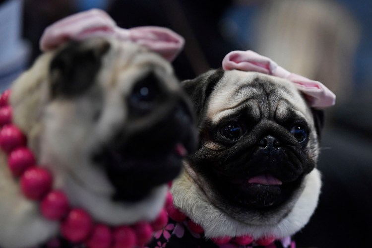 NEW YORK, NEW YORK - FEBRUARY 09: Pugs nicknamed 'The Pugdashians' attend the Meet The Breed event at Piers 92/94 ahead of the 143rd Westminster Kennel Club Dog Show on February 09, 2019 in New York City. Sarah Stier/Getty Images/AFP