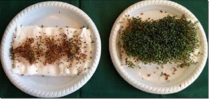 El efecto del wifi (o la ausencia del mismo) sobre la germinación de semillas (1/2)