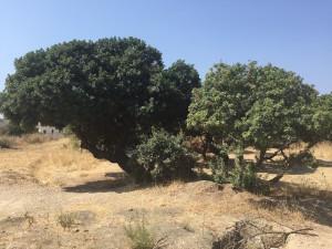 Chios, albero di lentisco