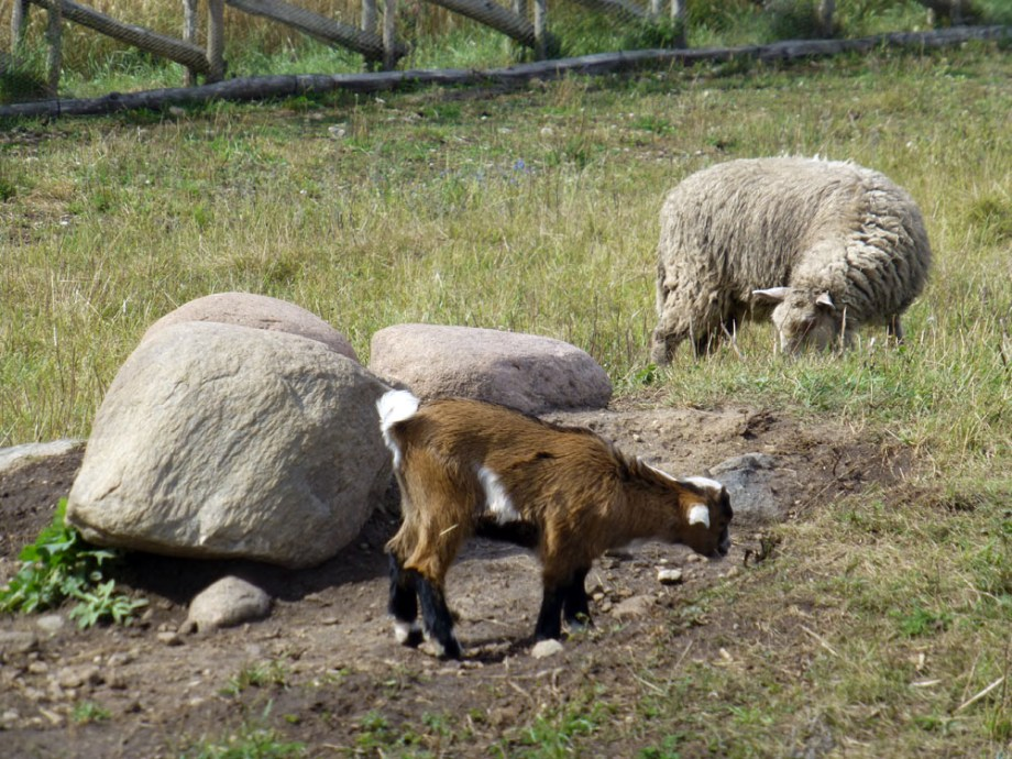 ovejas en angla